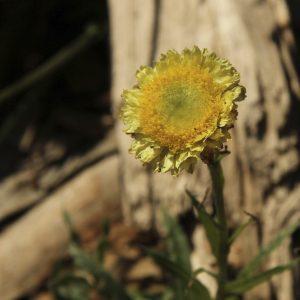 Helichrysum rutidolepis flora ALA source
