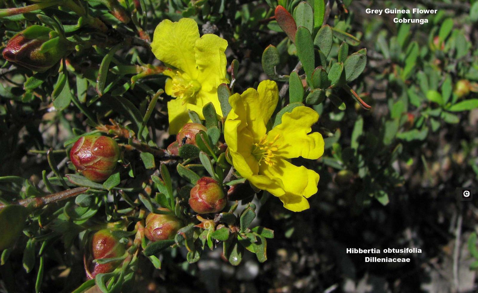 Hibbertia obtusifolia flora ALA source