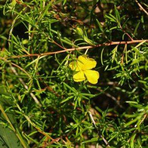Hibbertia riparia flora ALA source
