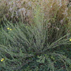 Hibbertia sericea flora ALA source