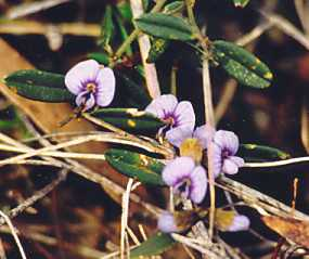 Hovea linearis flora ALA source