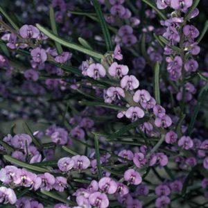 Hovea rosmarinifolia flora ALA source