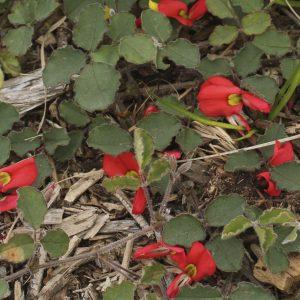 Kennedia prostrata flora ALA source