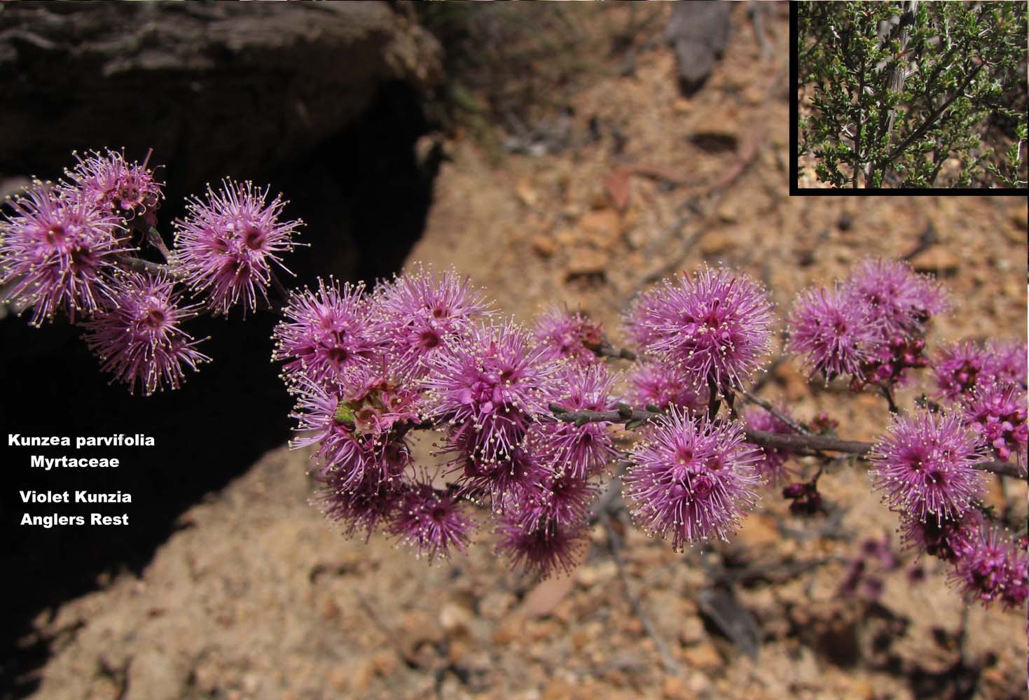 Kunzea parvifolia flora ALA source