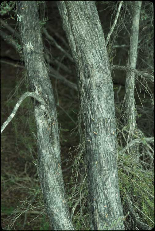 Leptospermum brevipes flora ALA source