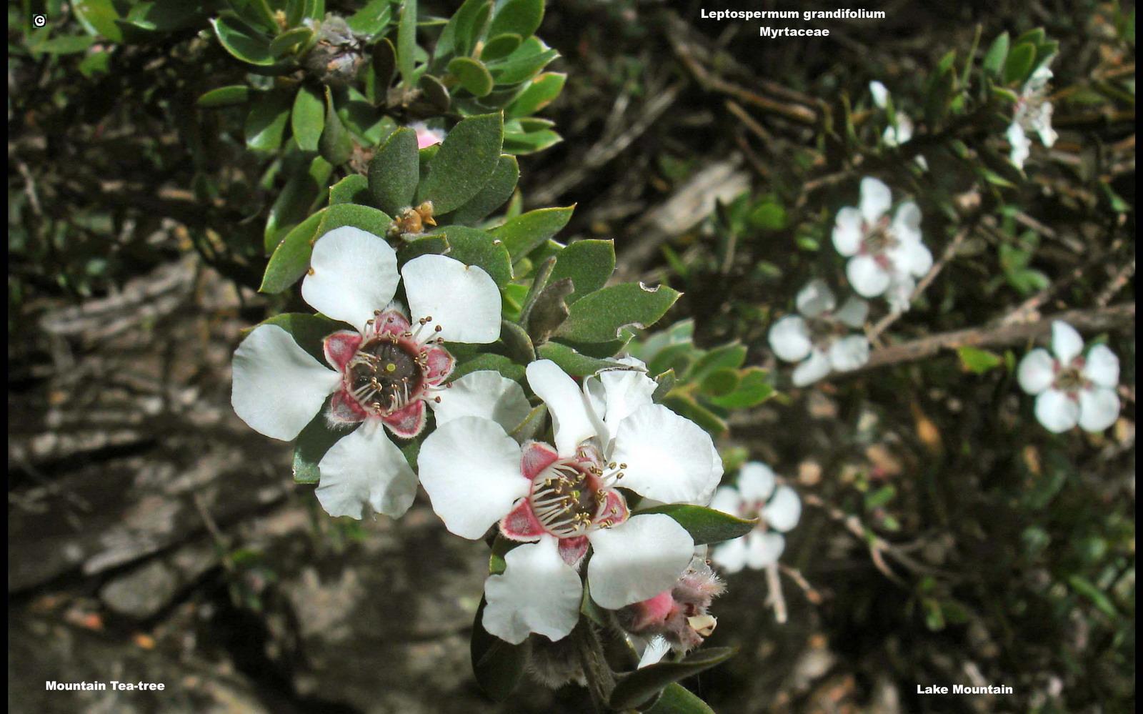 Leptospermum grandifolium flora ALA source