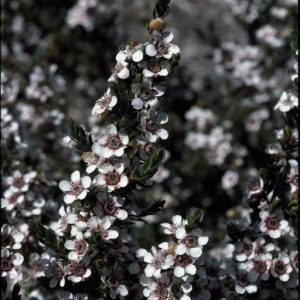 Leptospermum lanigerum flora ALA source