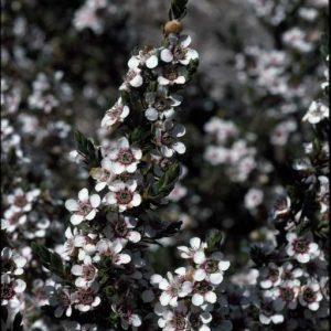 Leptospermum lanigerum flora ALA source