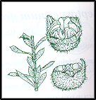 Leptospermum lanigerum (outline)