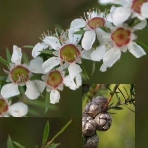 Leptospermum polygalifolium flora ALA source