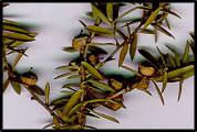 Leptospermum polygalifolium (lq)