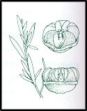 Leptospermum polygalifolium (outline)