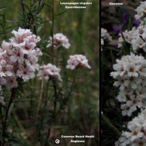 Leucopogon virgatus flora ALA source