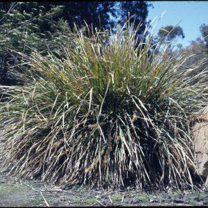 Lomandra longifolia flora ALA source