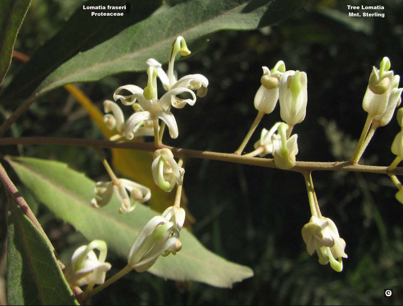 Lomatia fraseri flora ALA source