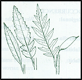 Lomatia fraseri (outline)