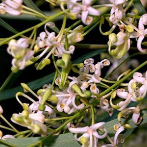 Lomatia myricoides flora ALA source