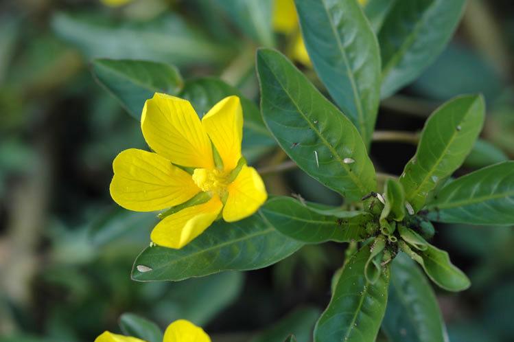 Ludwigia peploides flora ALA source