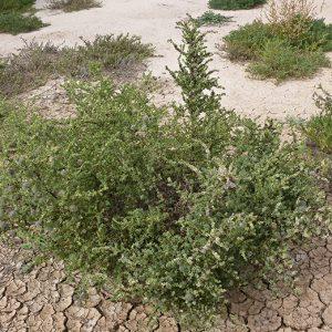Maireana brevifolia flora ALA source