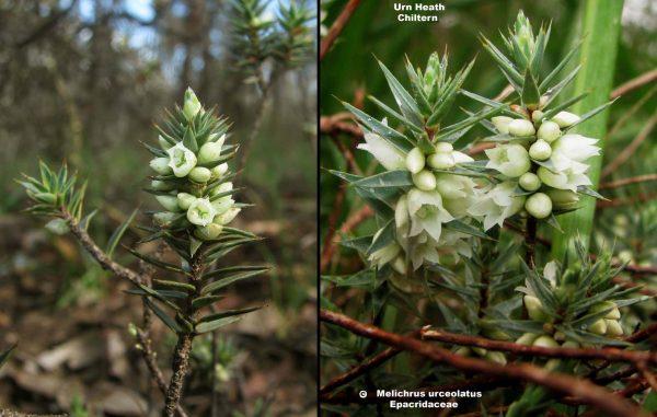 Melichrus urceolatus flora ALA source
