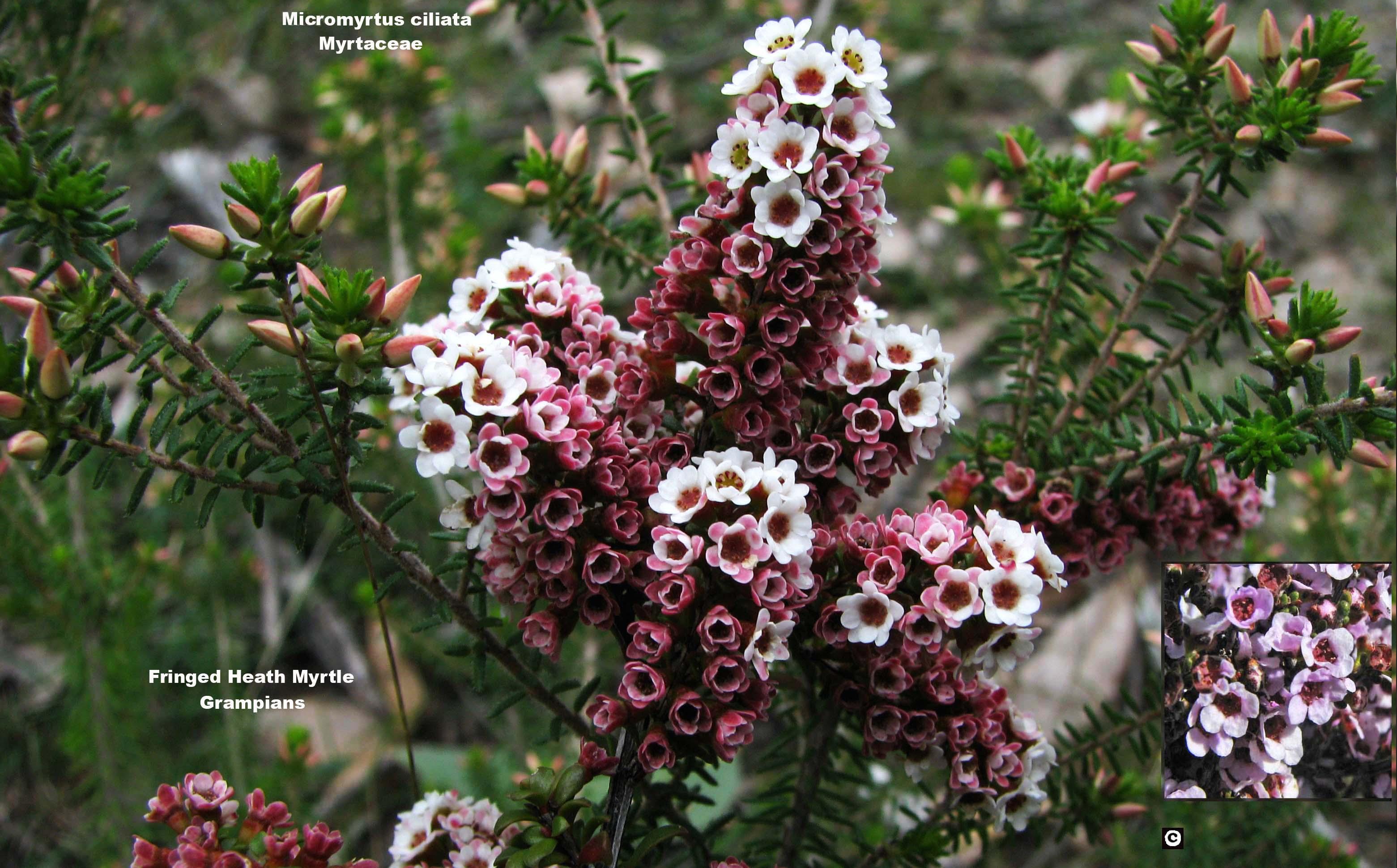 Micromyrtus ciliata flora ALA source