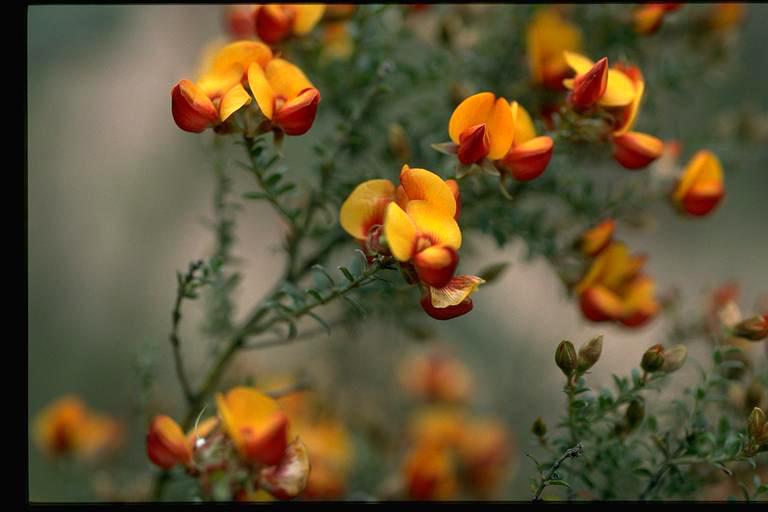 Mirbelia oxylobioides flora ALA source