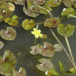 Nymphoides crenata flora ALA source