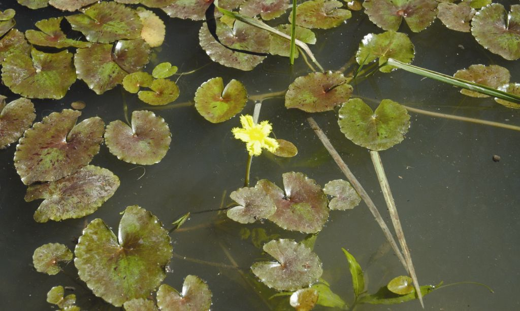 Nymphoides crenata flora ALA source