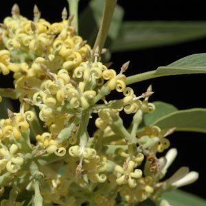 Parsonsia eucalyptophylla flora ALA source