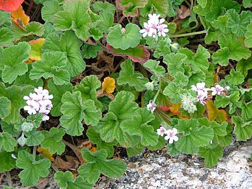 Pelargonium australe flora ALA source