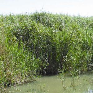 Phragmites australis flora ALA source