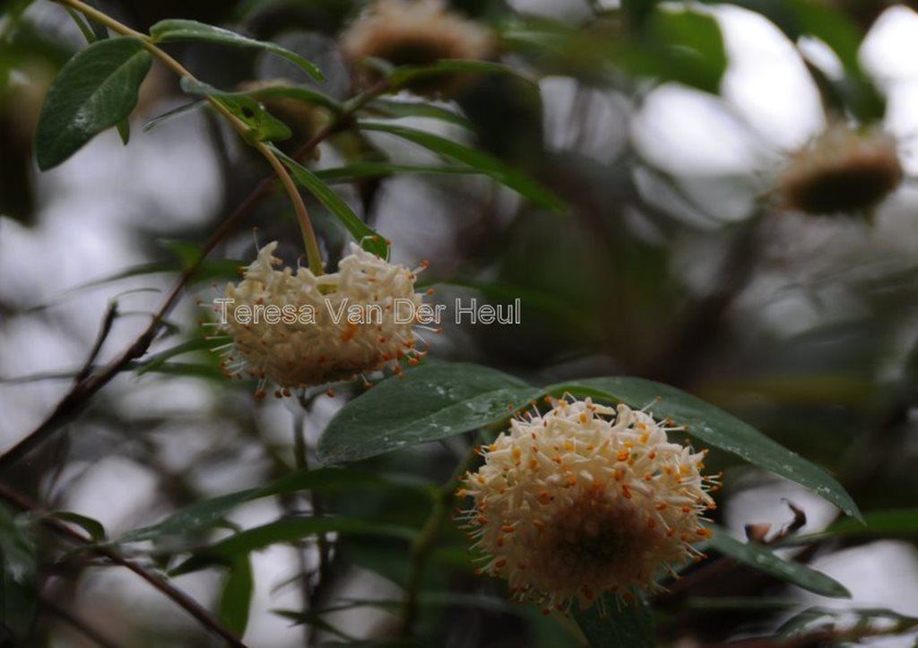 Pimelea ligustrina subsp ligustrina flora ALA source