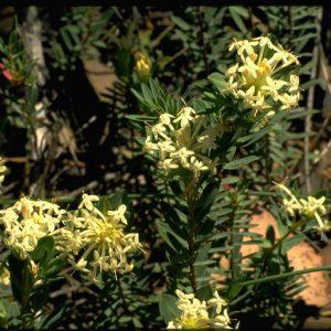 Pimelea linifolia subsp linifolia flora ALA source