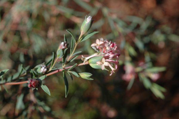 Pimelea stricta flora ALA source