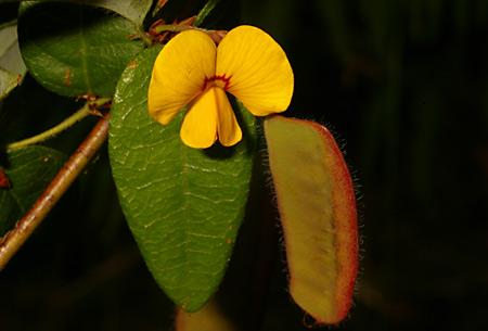 Platylobium formosum flora ALA source