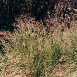 Poa labillardierei flora ALA source
