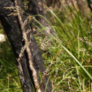 Poa sieberiana flora ALA source