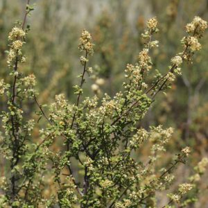 Pomaderris angustifolia flora ALA source