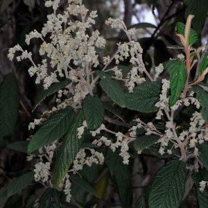 Pomaderris aspera flora ALA source