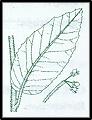 Pomaderris aspera (outline)