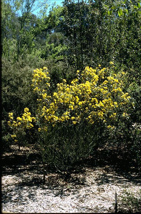Pomaderris lanigera flora ALA source