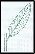 Pomaderris lanigera (outline)