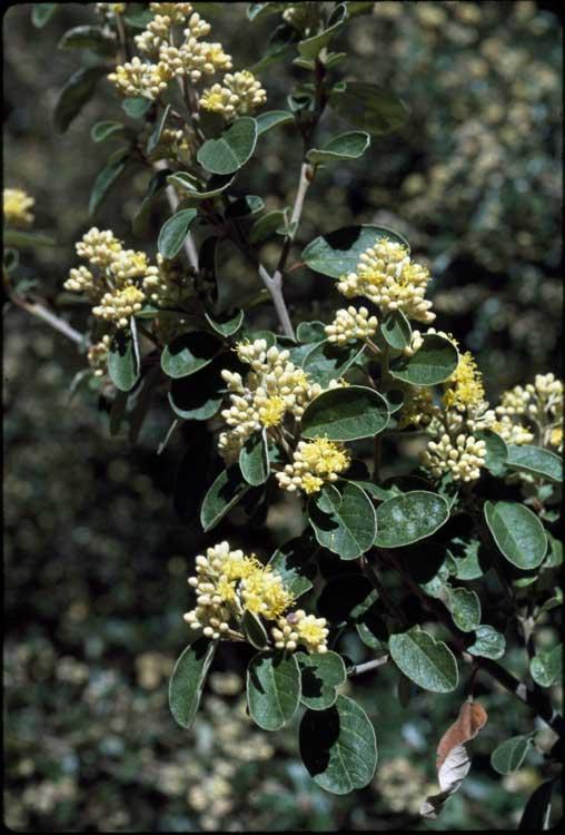 Pomaderris velutina flora ALA source