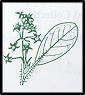 Pomaderris velutina (outline)