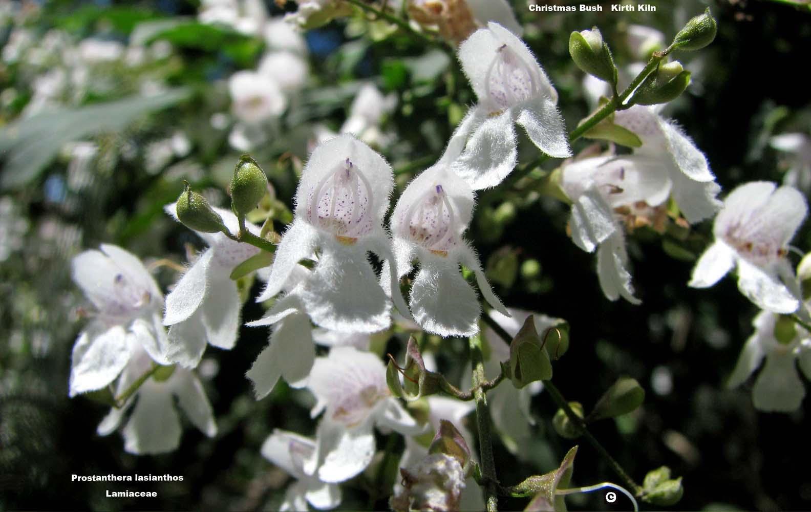 Prostanthera lasianthos flora ALA source