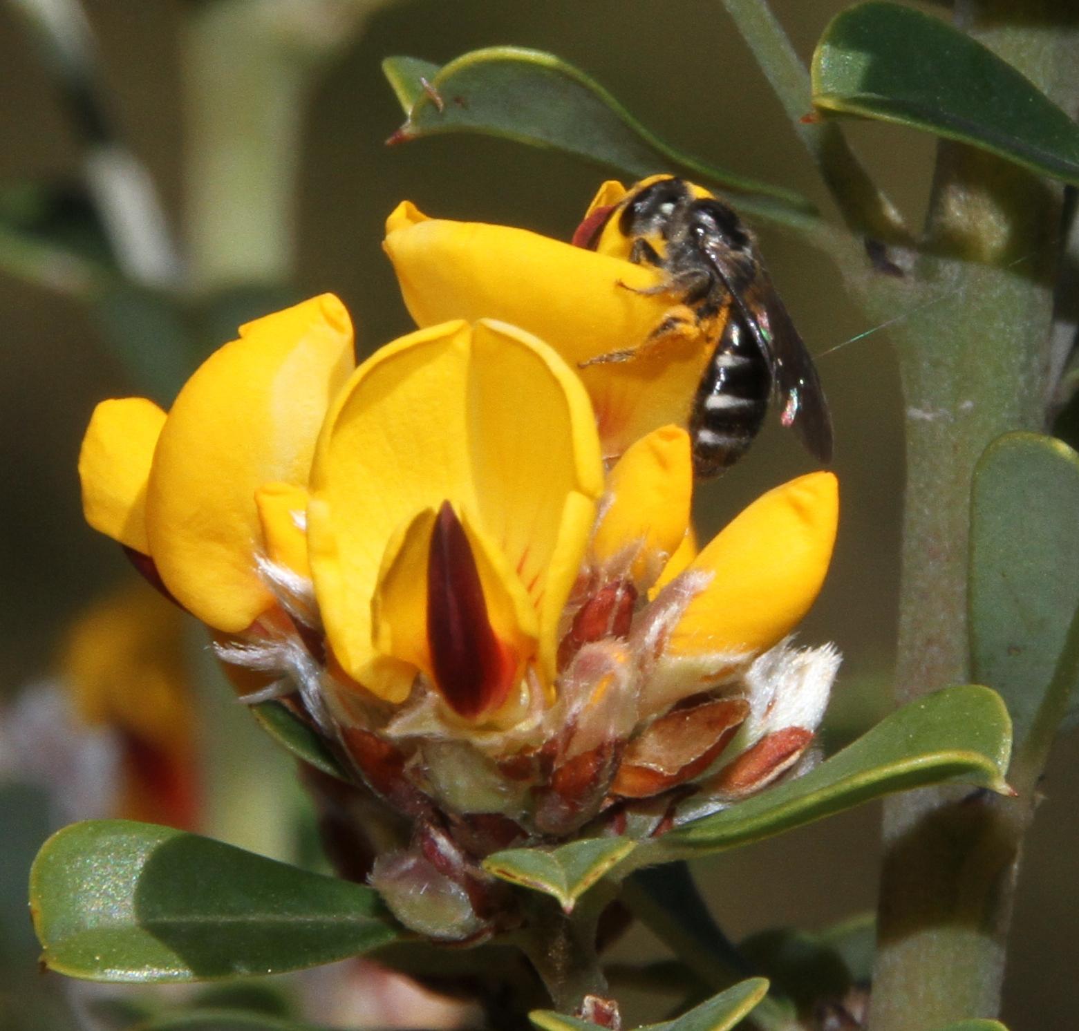 Pultenaea daphnoides flora ALA source