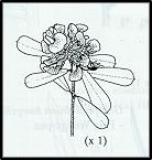 Pultenaea daphnoides (outline)
