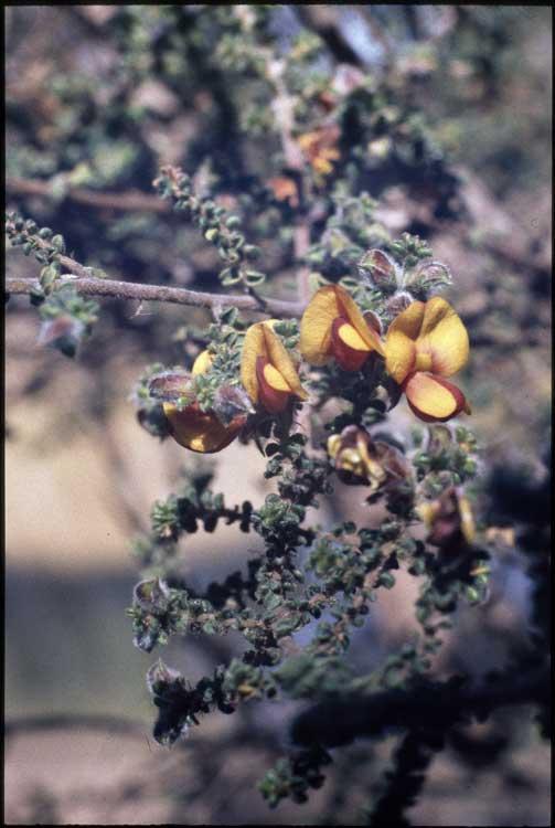 Pultenaea foliolosa flora ALA source