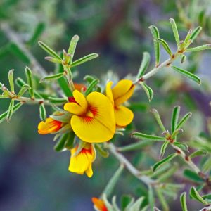 Pultenaea largiflorens flora ALA source