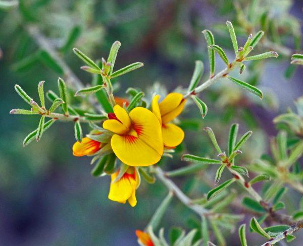 Pultenaea largiflorens flora ALA source